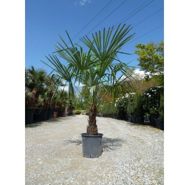 Trachycarpus fortunei AKTION 2x 200-250