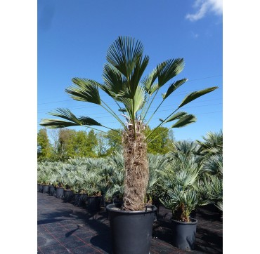 Die bessere Tessinerpalme? Trachycarpus wagnerianus 200-250 cm
