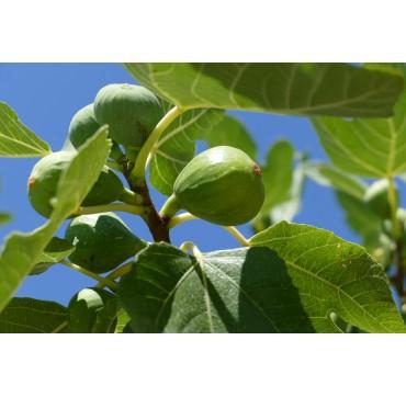 Feigenbaum (Ficus carica) AKTION 150-200 cm
