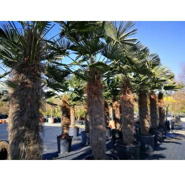 Trachycarpus wagnerianus 2 Stück 250-350 cm AKTION