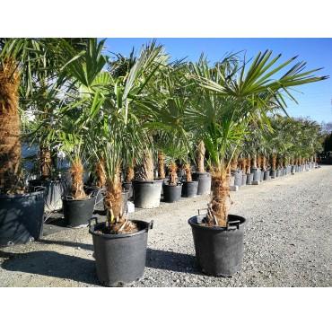 Tessiner Palme (Trachycarpus fortunei) 2 Stück 150-200 cm AKTION