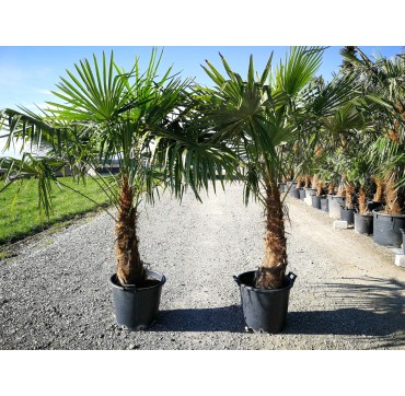 Tessiner Palme (Trachycarpus fortunei) 2 Stück 200-250 cm AKTION