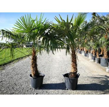 Trachycarpus fortunei AKTION