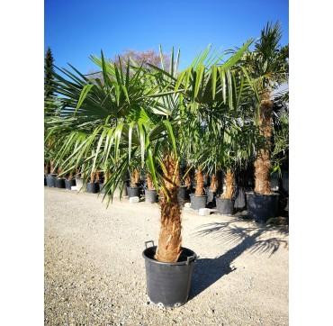 Tessiner Palme (Trachycarpus fortunei) AKTION 200-250 cm