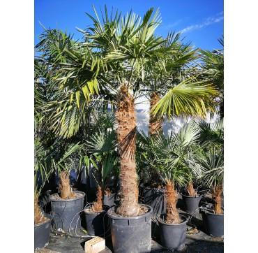 Tessiner Palme (Trachycarpus fortunei) 2 Stück 300-400 cm AKTION