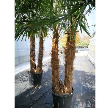 Tessiner Palme zweistämmig (Trachycarpus fortunei) 2 Stücke 300-400 cm AKTION