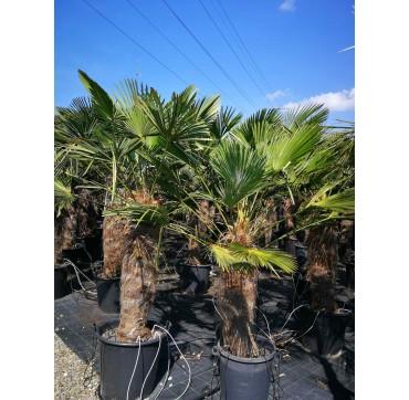 Die bessere Tessinerpalme? Trachycarpus wagnerianus 2 Stück 200-250cm