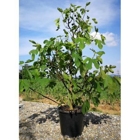 Ficus carica AKTION 150-200