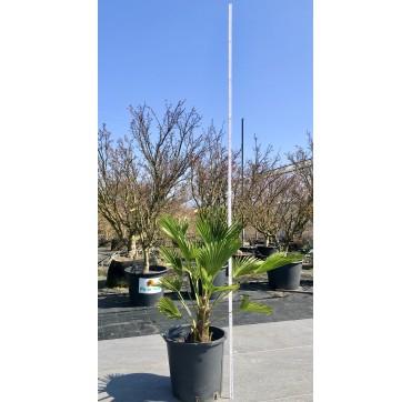 Trachycarpus wagnerianus ca.100 cm