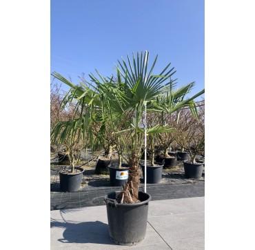 Tessiner Palme 150-200 cm Trachycarpus fortunei Stammhöhe 40-60 cm