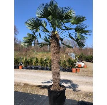 Trachycarpus wagnerianus AKTION 280-340