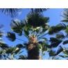 Trachycarpus wagnerianus 340-400